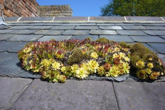 Sempervivums on roof