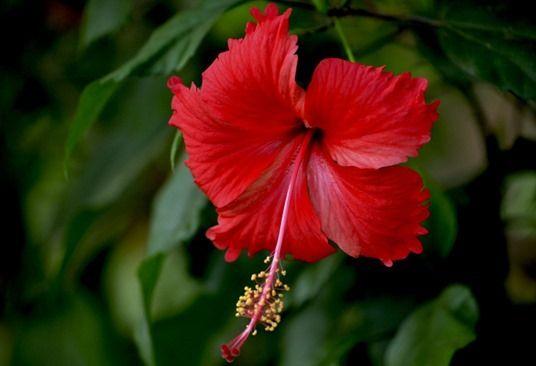 6 Hibiscus