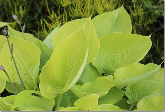 10 Hosta 'Sum and Substance'