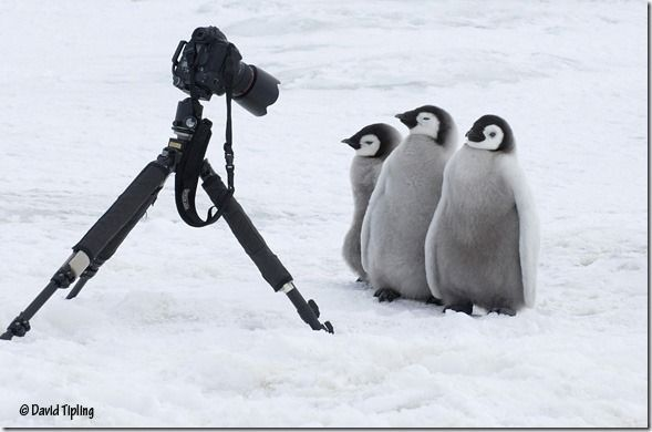 Emperor Penguin, Aptenodytes forsteri, chicks posing for the camera Snow Hill Island, Weddell Sea, Antarctica, Novembe, David Tipling, Penguins: Close Encounters, Photography, Bird Photography, Wildlife Photography, Penguins