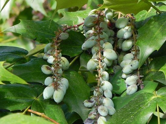 7 Mahonia japonica berries