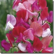 133557_Sweet_Pea_Heirloom_Juanita_exp