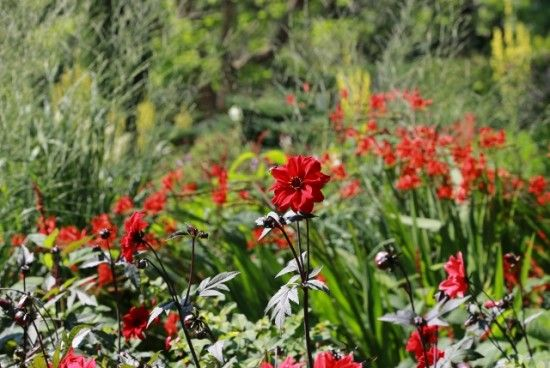 Crocosmias with 'Bishop of llandaff'
