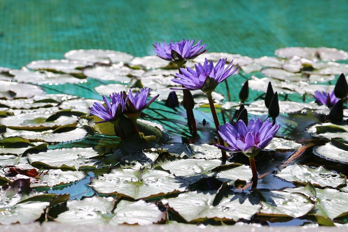 4 Blue waterlilies at Villa Tarranto
