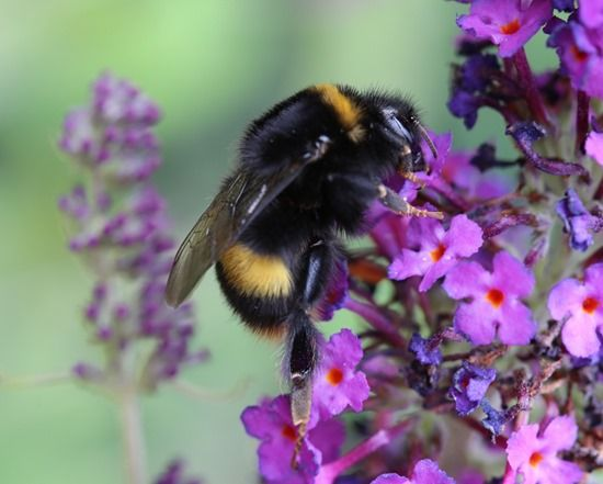 5 Bumble bee on buddleja (1024x820)