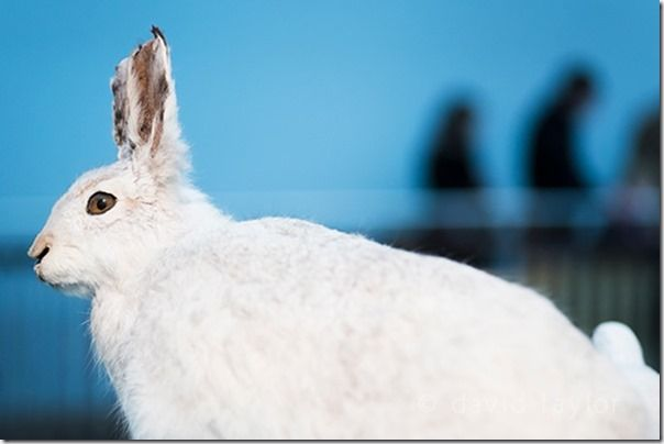 A hare in its winter coat on display at the Great North Museum in Newcastle upon Tyne, England, Keeping your camera Steady, Camera shake, Fast shutter speed,