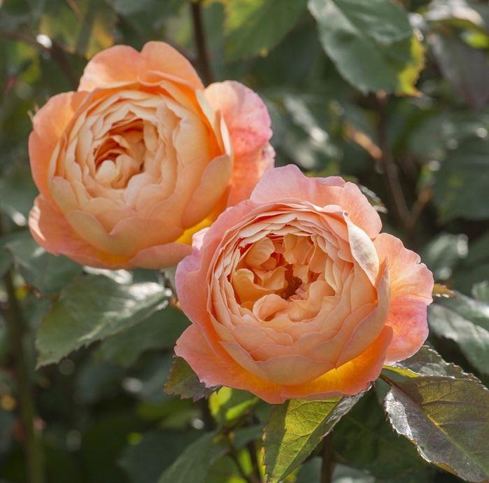 Rosa 'Lady Emma Hamilton'