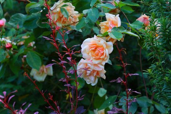 12 Rose and berberis (1024x683)