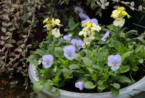 Violas and Wallflowers
