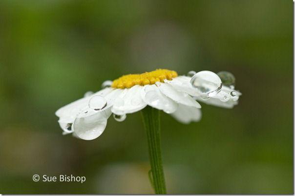 daisy with raindrops