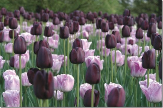 Tulipa 'Queen of Night' (deep purple/nearly black Single Late Tulip); Tulipa 'Shirley' (Triumph Tulip)