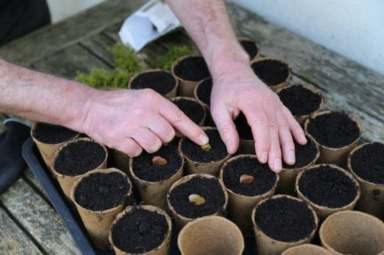 10 Sowing broad beans