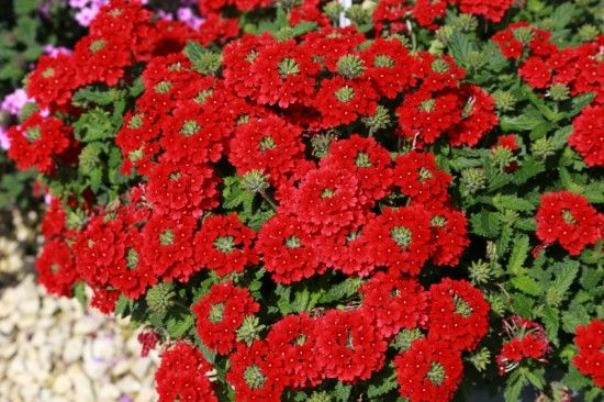 8 Verbena Endurascape Red (800x533)