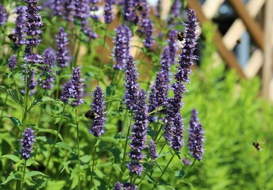 ... Agastache Many Times For Its Spikes Of Blue Flowers In Late Summer. It  Is Not Often Recommended As A Flower For The Vegetable Garden, ...