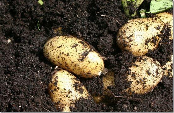9 Charlotte potatoes ready