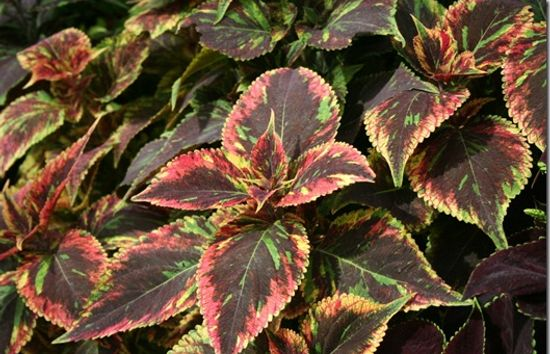 Coleus a tender bedding plant
