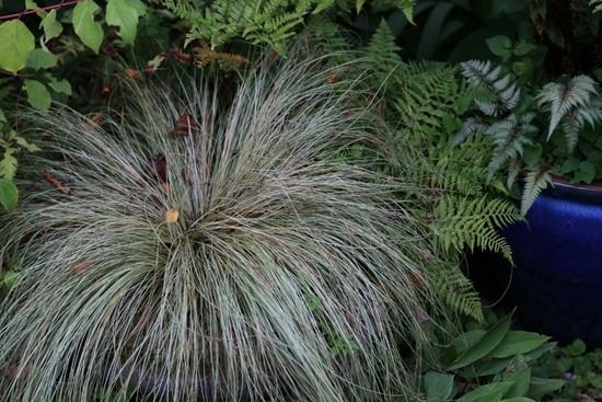 10 Carex 'Frosted Curls'