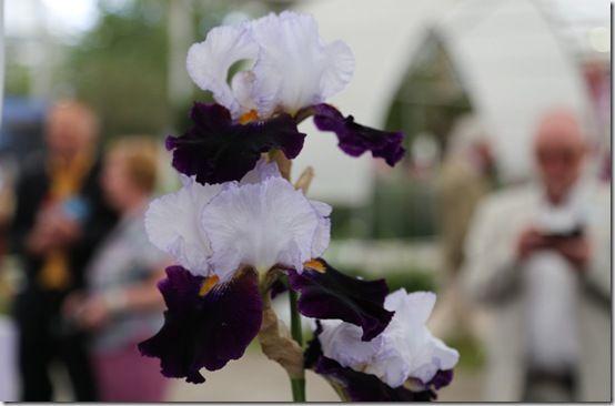 5 Iris 'Domino Noir'