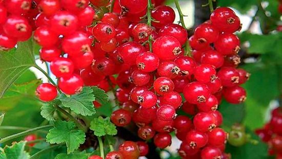 Redcurrants, How To Grow Soft Fruit