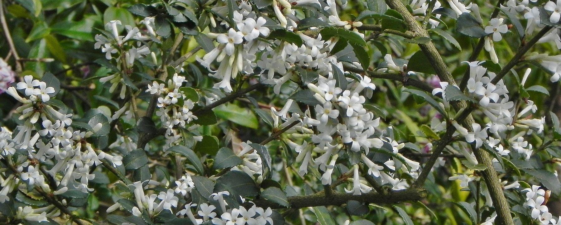 Early Spring Flowering Shrubs Gardening
