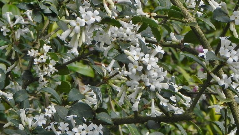 Early Spring Flowering Shrubs Gardening Learning With Experts