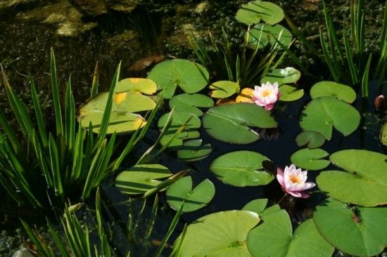 5 Water lilies and water soldiers (800x533)