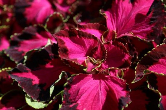 5 Coleus Chocolate Covered Cherry (800x533)