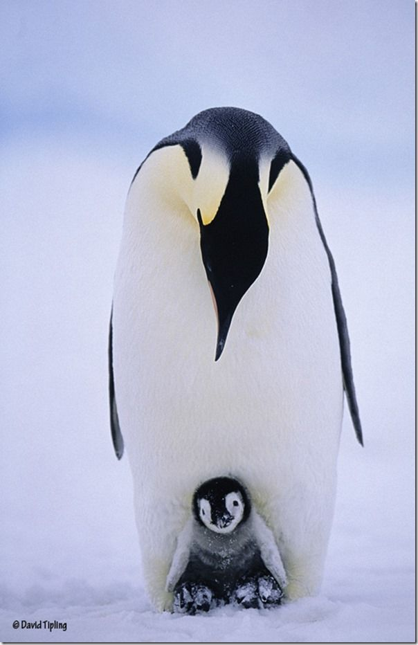 New life in one of Earth's harshest environments. A young Emperor chick balanced on its parents feet peers out on to a world of snow and ice, David Tipling, Penguins: Close Encounters, Photography, Bird Photography, Wildlife Photography, Penguins