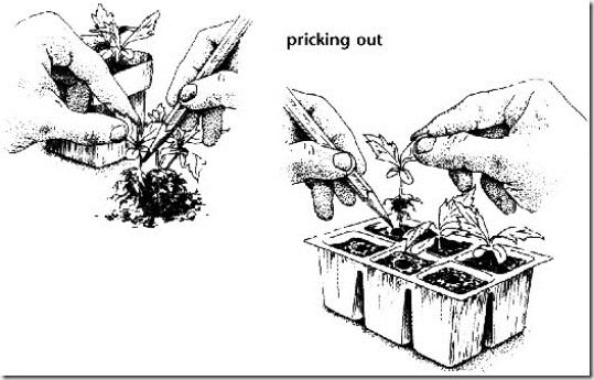 Seed Sowing, germination, proagation, How to Sow Seeds, Sowing Seeds, crocks, Pricking out, Windowsill propagation,