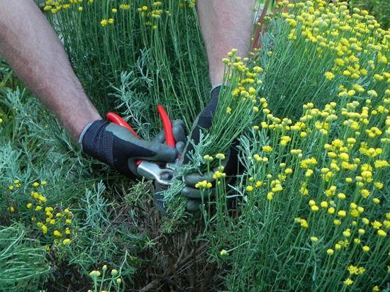 2 Summer pruning santolina