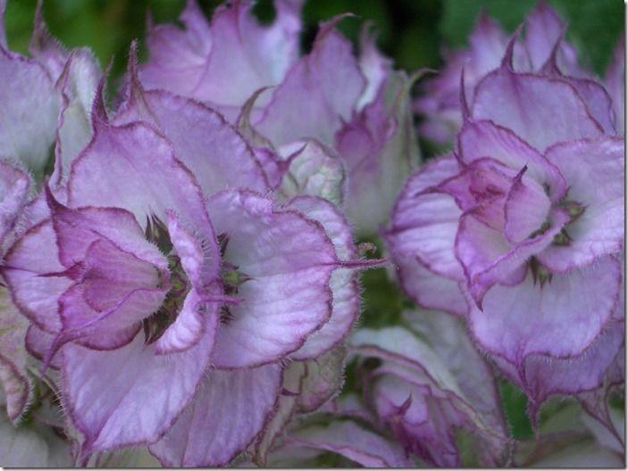 Salvia sclarea var.turkestanica