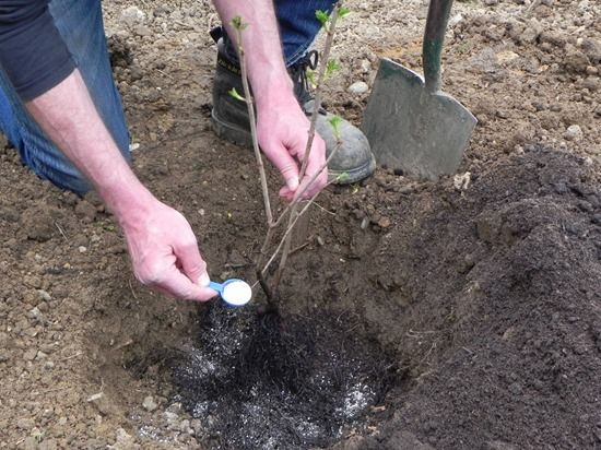 5 Planting a bare-root shrub