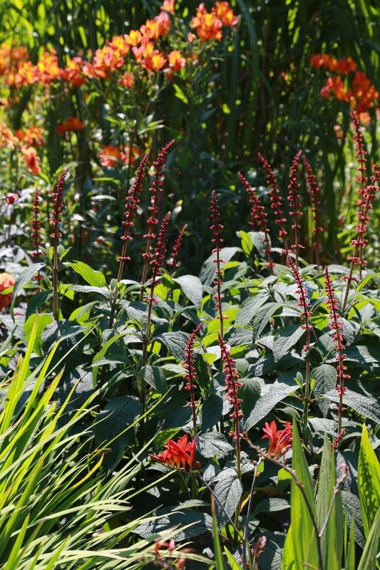 6 Salvia confertifolia (533x800)