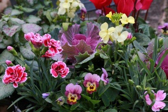 Dianthus Sunflor