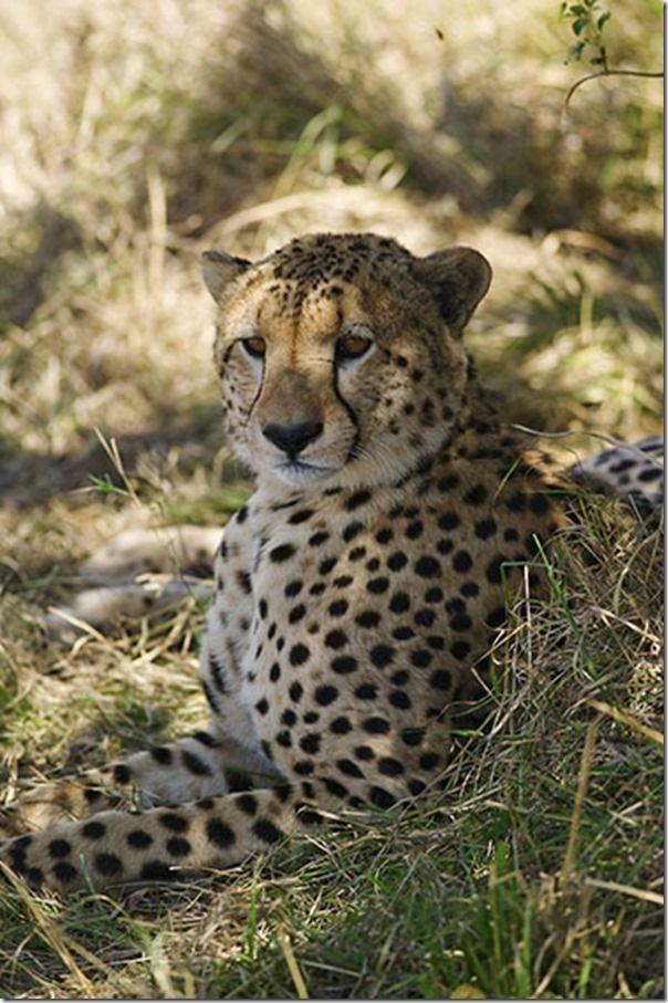 A cheetah, Acinonyx jubatus, in the northern Maasai Mara area of Kenya, Travel Photography, holiday photography Tips, travel Photography class, travel photography Course, Nigel Hicks, travel photography tips