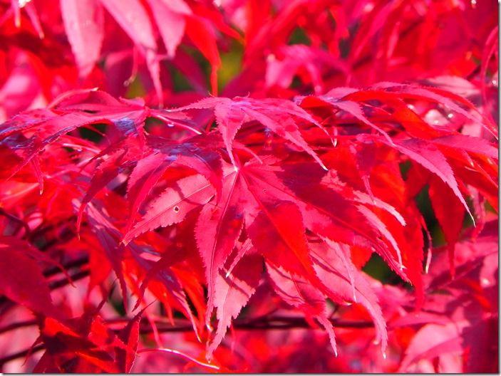 10 Acer palmatum 'Bloodgood' - autumn