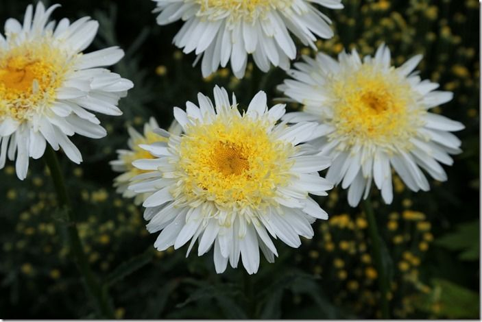 5 Leucanthemum 'Real Galaxy' 3 (1024x683)