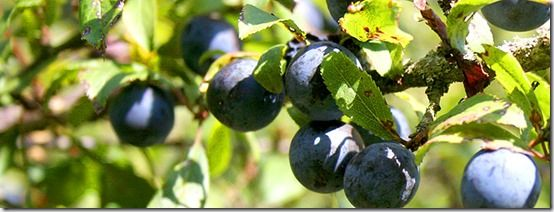 Sloes, Fruit Tree Specification & Rootstocks Guide