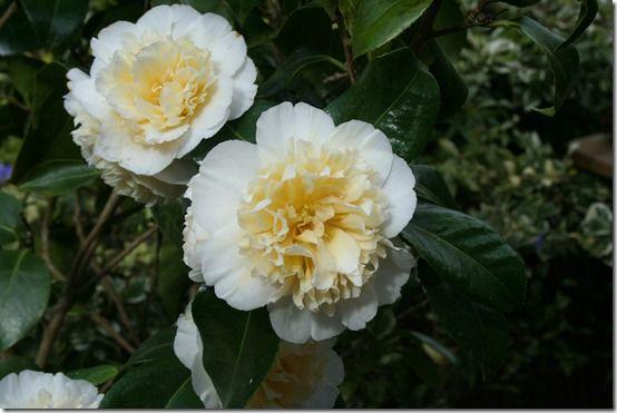 Camellia 'Jury's Yellow' 2