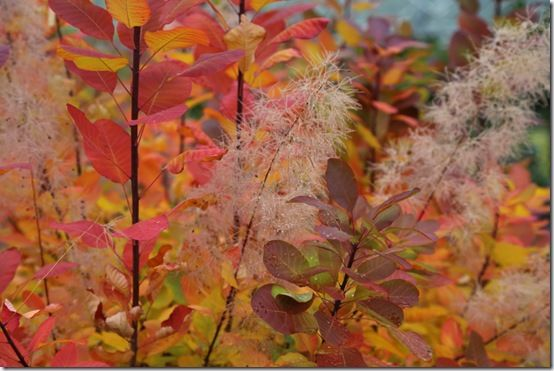 8  Cotinus 'Candyfloss'