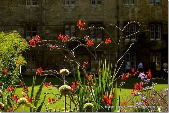 Crocosmia at Merton College Oxford