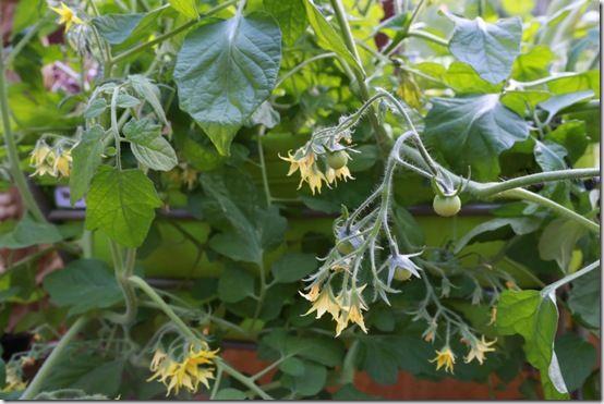 9 Tomato 'Tumbler'