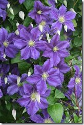 Clematis 'Wisley'