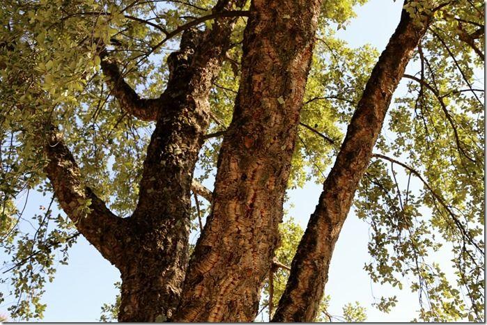 3_Quercus_suber_(1280x853)[1]