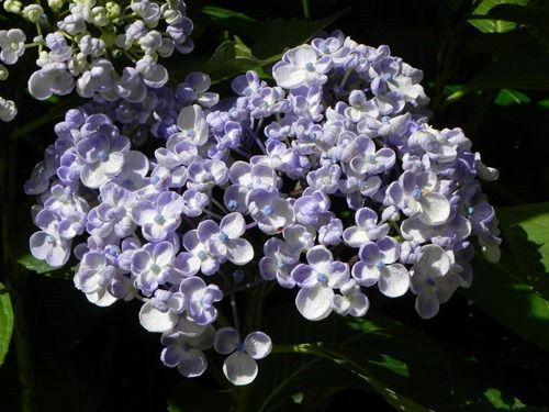 9 Hydrangea 'Ayesha' (1280x960)