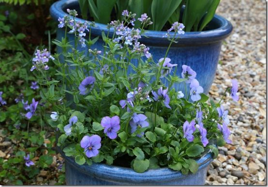Nemesia aromatica and Viola 'Endurio'
