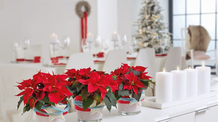 Christmas Decorating Ideas With Poinsettias Gardening Learning