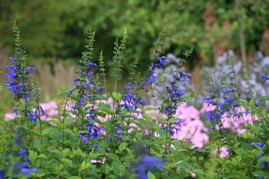 8 Salvia guarantica 'Blue enigma' 2 (800x533)