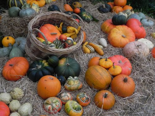 history of pumpkins Scientists at boyce thompson institute have sequenced the genomes of two important pumpkin species, cucurbita maxima and cucurbita moschata for some, pumpkins.