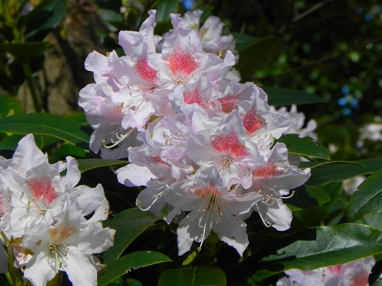 8 Rhododendron 'Cunningham's White' (1024x768)
